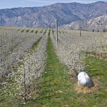 Propane-powered frost control, orchard.